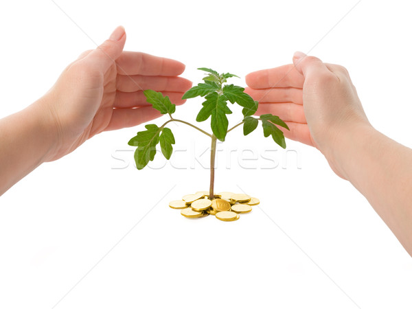 Hands protecting a plant - isolated Stock photo © lightkeeper