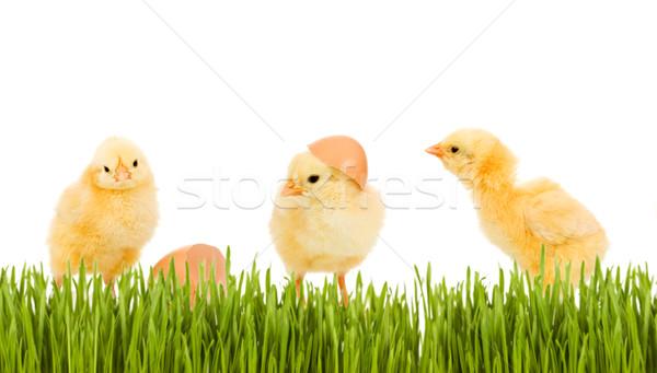 Three baby chicken in the grass Stock photo © lightkeeper