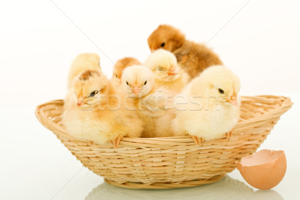 Basket full of fluffy baby chickens Stock photo © lightkeeper