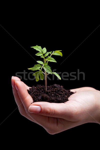 Young tomato seedling in woman palm Stock photo © lightkeeper
