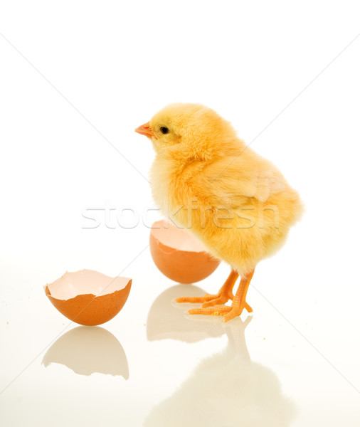 Spring chicken with egg shell Stock photo © lightkeeper