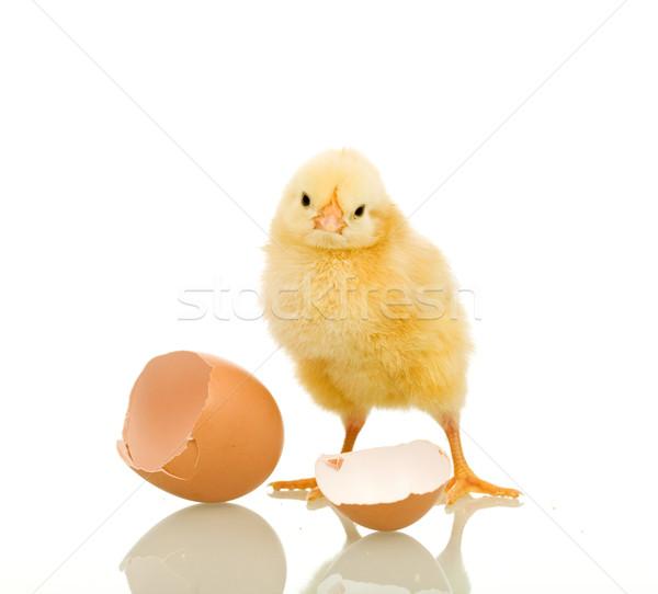 Stock fotó: Kicsi · tyúk · tojáshéj · izolált · tükröződés · húsvét