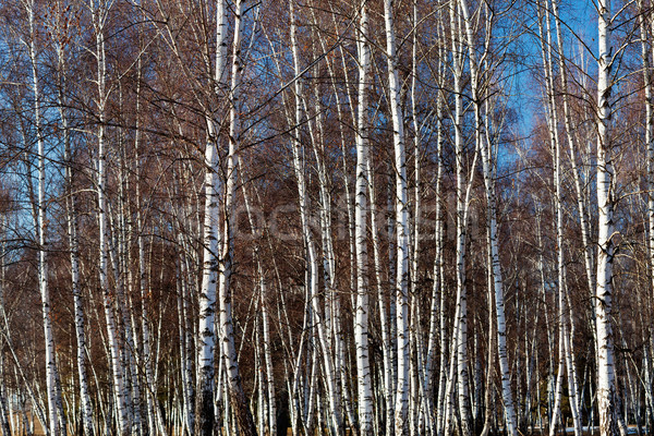 Dense white birch trees parcel Stock photo © lightkeeper