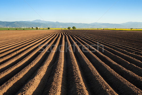 Potato field in the early spring after sowing - with furrows run Stock photo © lightkeeper