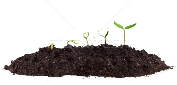 Young seedlings growing in soil heap Stock photo © lightkeeper