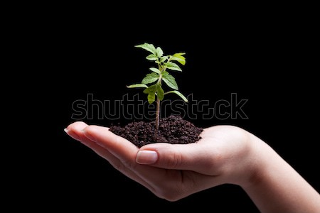 Young plant in woman hand - lit from above Stock photo © lightkeeper