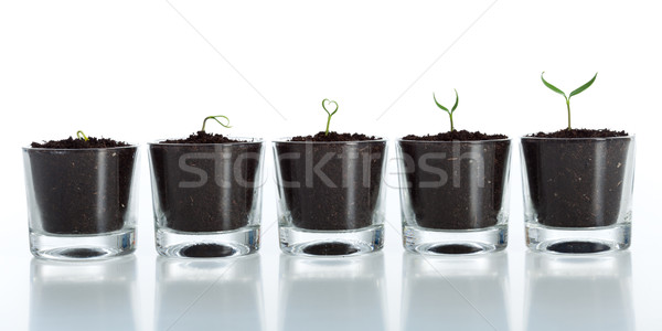 Young plant evolution - growth Stock photo © lightkeeper