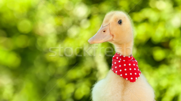 Cute yellow ducling with red scarf Stock photo © lightkeeper