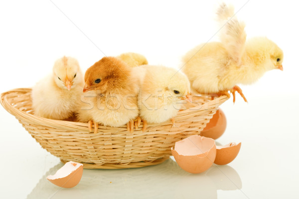 Small chickens in a basket Stock photo © lightkeeper