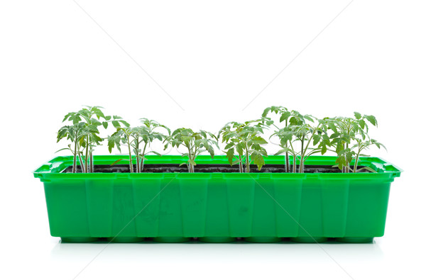 Young spring seedlings - tomato sprouts Stock photo © lightkeeper