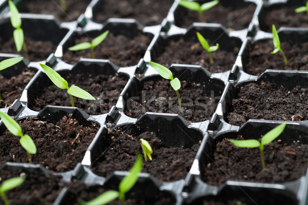 Many young seedlings in germination tray Stock photo © lightkeeper