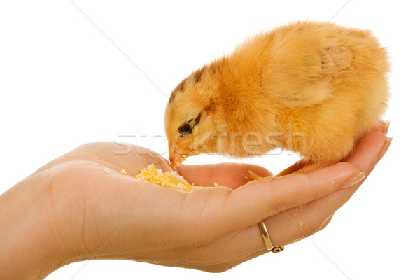 Stock photo: Baby chicken in woman hand eating