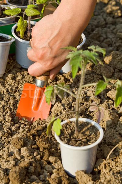 Growing food - planting seedlings Stock photo © lightkeeper