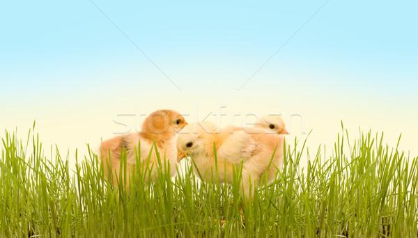 Primavera pollo erba tre fresche erba verde Foto d'archivio © lightkeeper