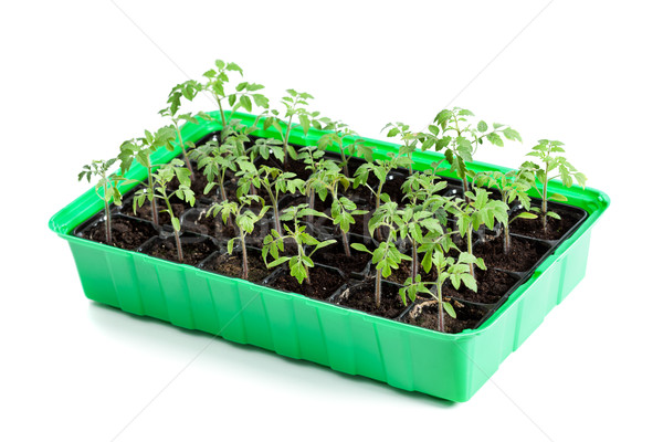 Young tomato plants in germination tray Stock photo © lightkeeper