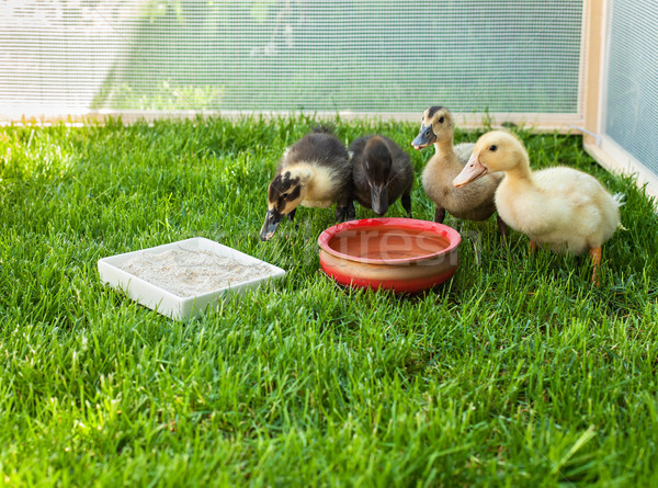 Cute ducklings surround water pot in a fenced area of green gras Stock photo © lightkeeper