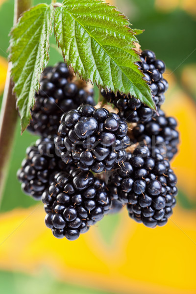 Blackberries ripening on the shrub Stock photo © lightkeeper