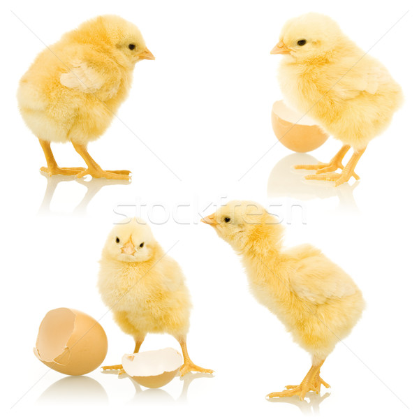 Little fluffy chickens Stock photo © lightkeeper