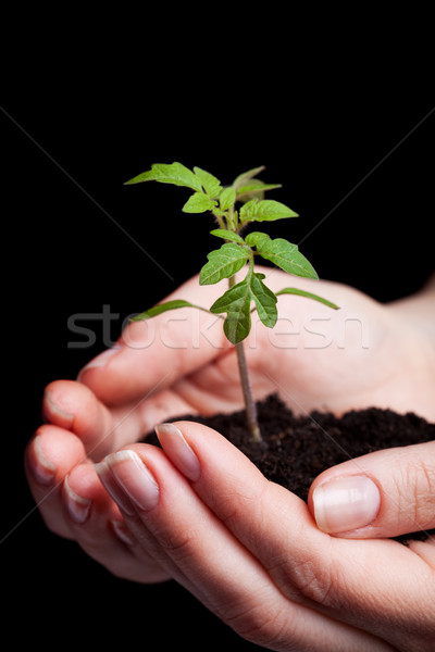 Young tomato seedling in woman hand Stock photo © lightkeeper