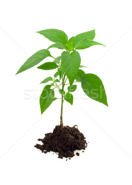 Vigorous young plant Stock photo © lightkeeper