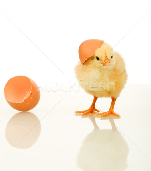 Small fluffy spring chicken with egg shell - isolated Stock photo © lightkeeper