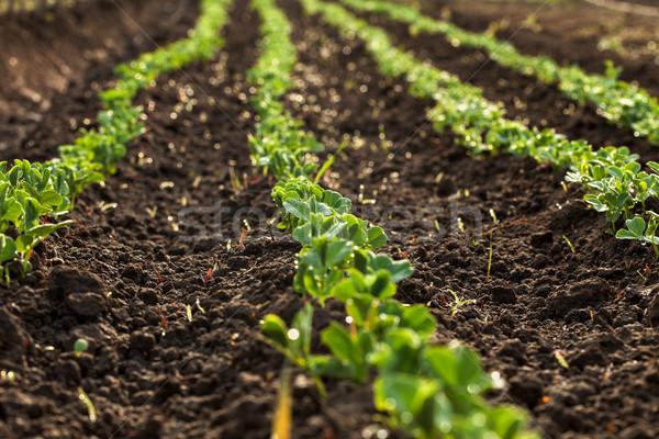 Piccolo scala agricoltura piselli mattina Foto d'archivio © lightkeeper