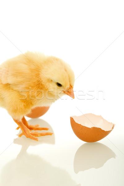 Kicsi bolyhos tyúk törött tojás kagyló Stock fotó © lightkeeper