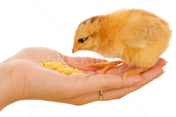 Little chick eating from hand Stock photo © lightkeeper