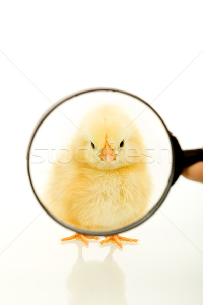 Chicken looking through a magnifier Stock photo © lightkeeper