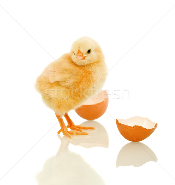 Lovely spring chicken with egg shell - isolated Stock photo © lightkeeper