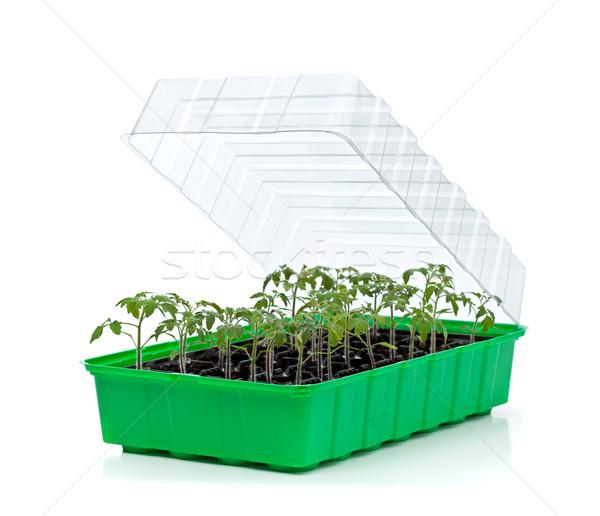 Bandeja pequeño tomate plántulas listo Foto stock © lightkeeper