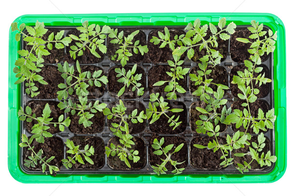 Tomato seedlings in germination tray Stock photo © lightkeeper