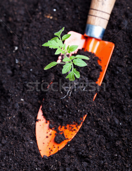 Young tomato seedling on small spade Stock photo © lightkeeper