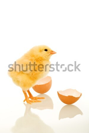 Easter baby chick just out of the egg Stock photo © lightkeeper