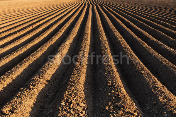 Potato field in the early spring with the sowing rows running to Stock photo © lightkeeper