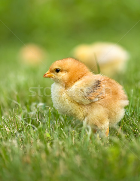 Early spring chicken Stock photo © lightkeeper