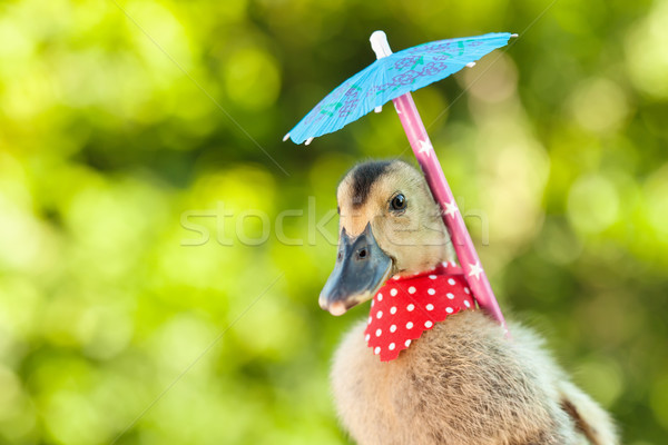 Elegant duckling with red scarf and umbrella Stock photo © lightkeeper
