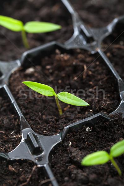 Tavasz palánta növekvő bors növény tálca Stock fotó © lightkeeper