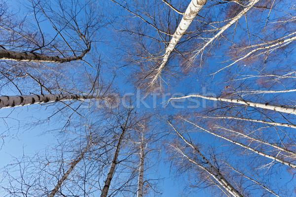 Felfelé néz fehér nyírfa fák tavasz fényes Stock fotó © lightkeeper
