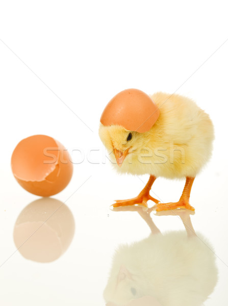 Little baby chicken with egg shell Stock photo © lightkeeper