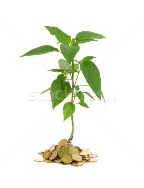 Dinheiro crescimento planta dourado moedas Foto stock © lightkeeper