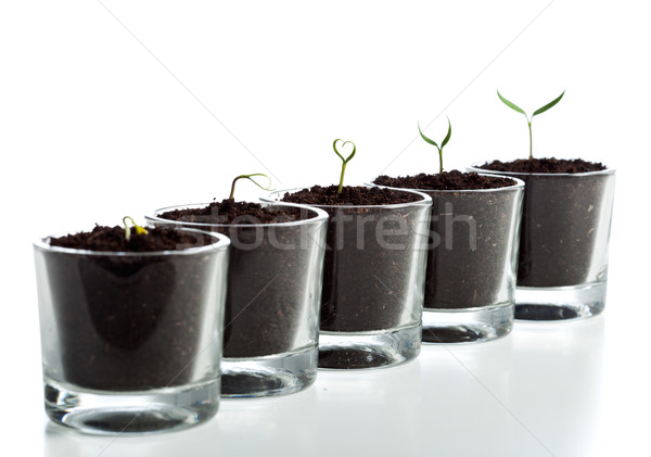 Young plant evolution stages Stock photo © lightkeeper