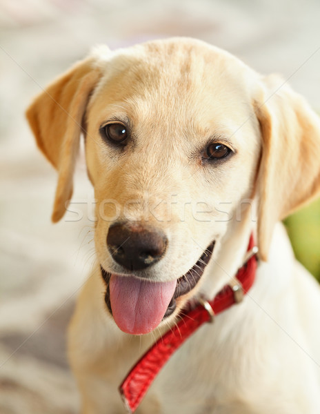 Young labrador retriever dog Stock photo © lightkeeper