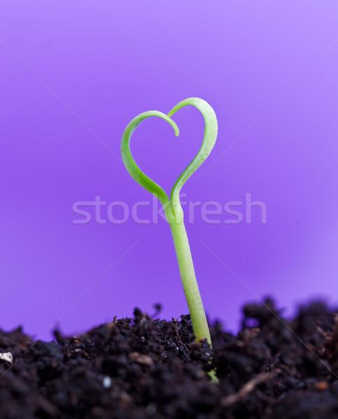 Tavasz palánta forma szív szeretet természet Stock fotó © lightkeeper