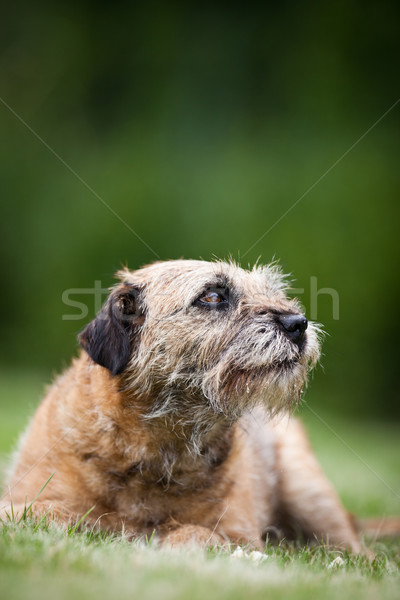 Border Terrier  Stock photo © lightpoet