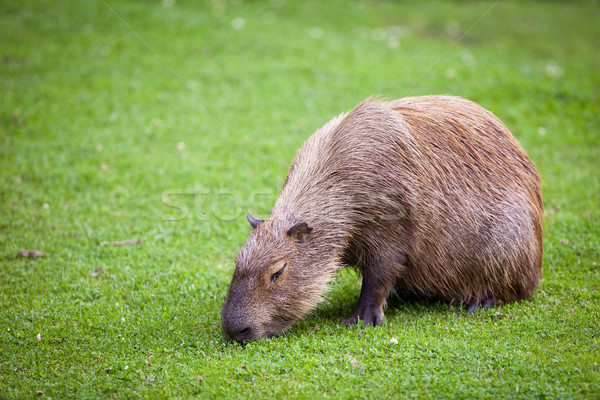 Capybara grazing on fresh green gras Stock photo © lightpoet
