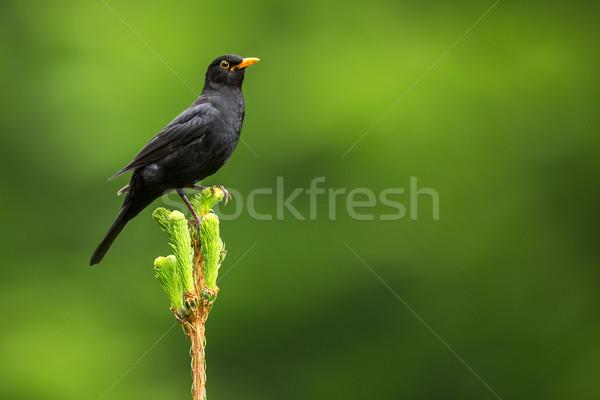 Blackbird Homme nature jardin oiseau plumes Photo stock © lightpoet