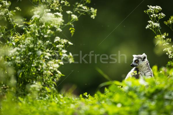 Lemur kata (Lemur catta) Stock photo © lightpoet