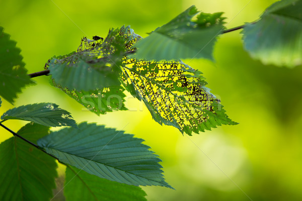 Green leafs eaten by insect, with smooth lush green background Stock photo © lightpoet