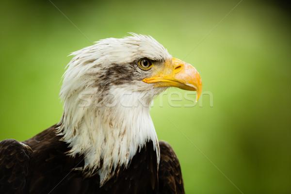 American bald eagle ((Haliaeetus leucocephalus) Stock photo © lightpoet